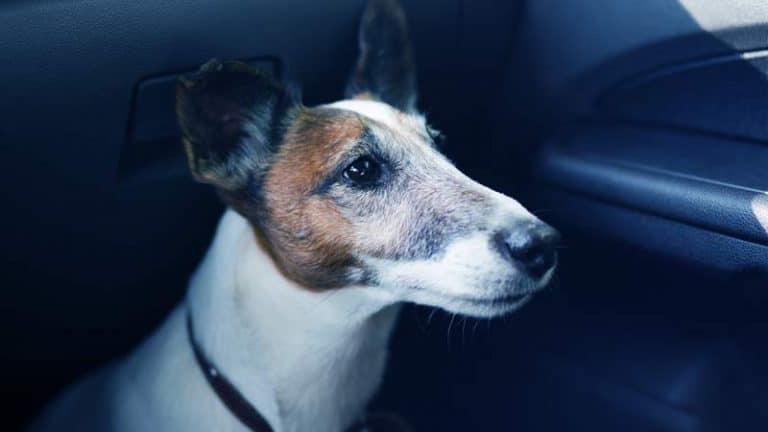 כלב יושב ברכב במושב הקדמי